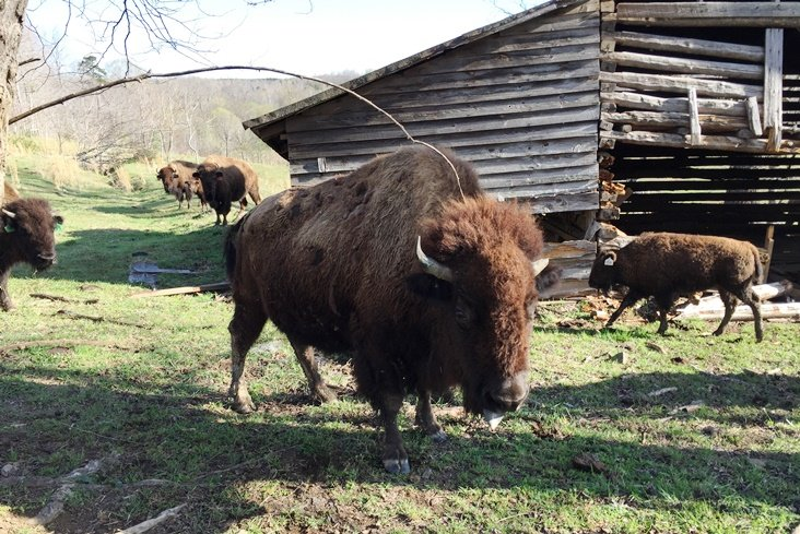 Resident of Sunset Ridge Buffalo Farm in Roxboro - NC Triangle Dining
